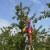 Foto: Berba i otkup šljive za sušenje juli-august 2016